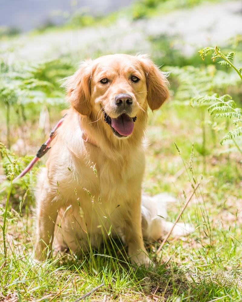 Bonnie the dog, pet portraits Cumbria